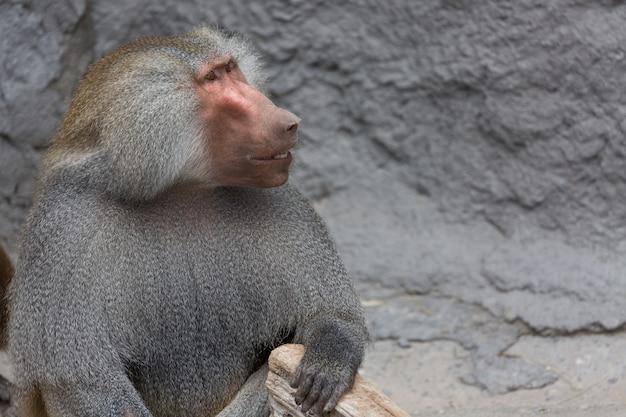 Hamadryas babuíno papio hamadryas pavian fechar retrato