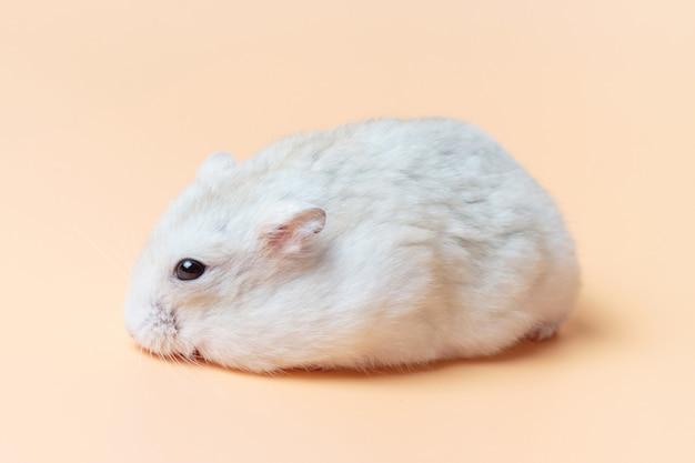 Hamster anão em um fundo marrom close-up vista lateral.