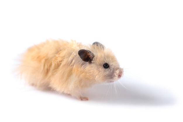 Hamster bege fofo parado de lado em um fundo branco