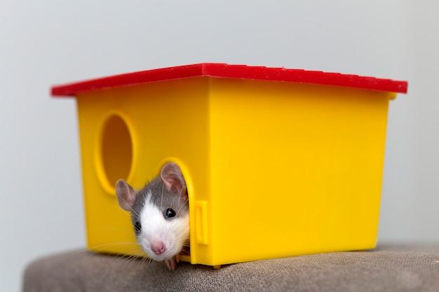 Hamster branco e cinza, com olhos brilhantes na gaiola amarela brilhante