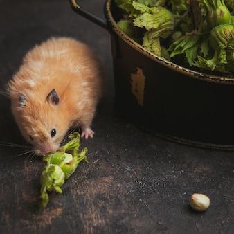 Hamster comendo avelã em um marrom escuro. vista de alto ângulo.