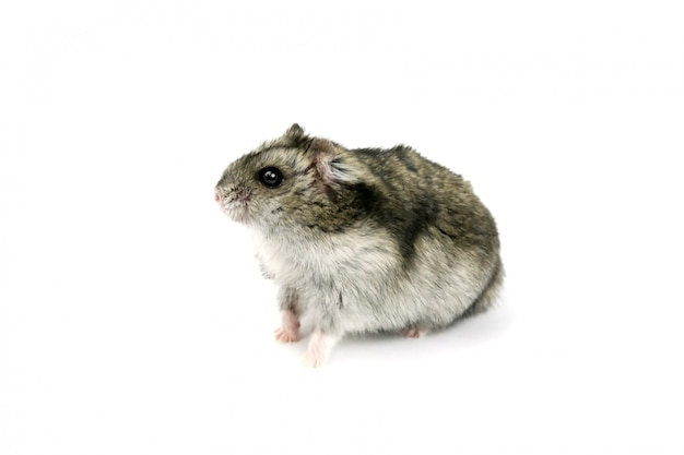 Hamster de rato isolado