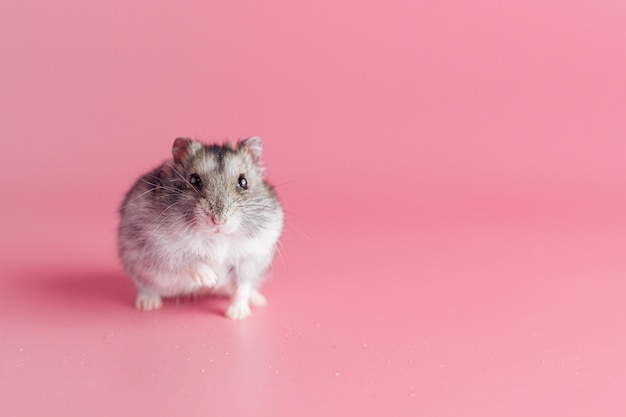 Hamster em um fundo rosa com espaço de cópia