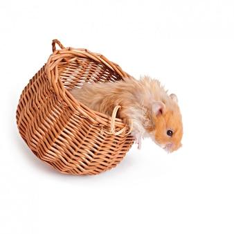 Hamster em uma cesta isolada em uma mesa branca