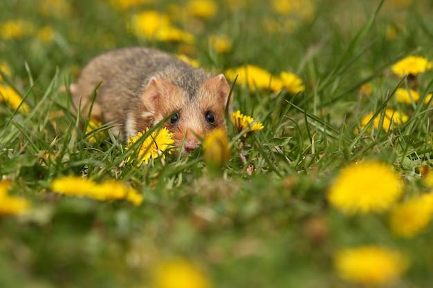 Hamster europeu em um prado florido