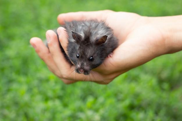 Hamster fofo preto na mão, sobre um fundo bonito