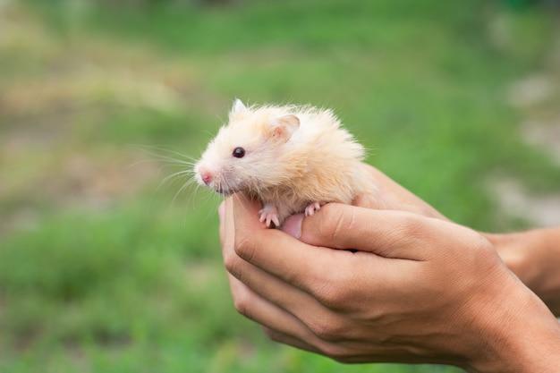 Hamster fofo vermelho na mão, sobre um fundo bonito