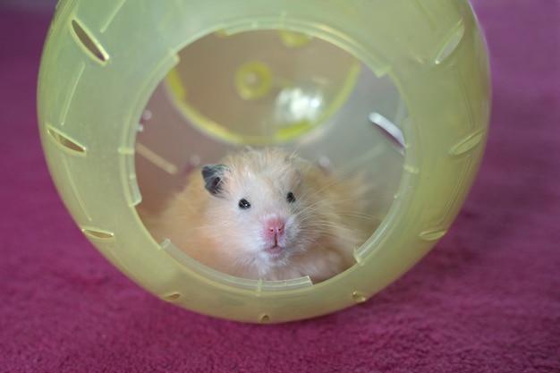 Hamster sentado em uma bola de hamster de plástico amarelo no fundo do tapete rosa, closeup