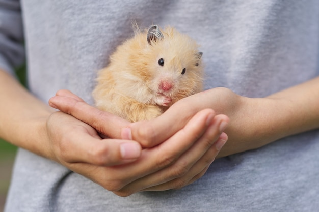 Hamster sírio bege dourado fofo em malha vermelha nas mãos de uma garota