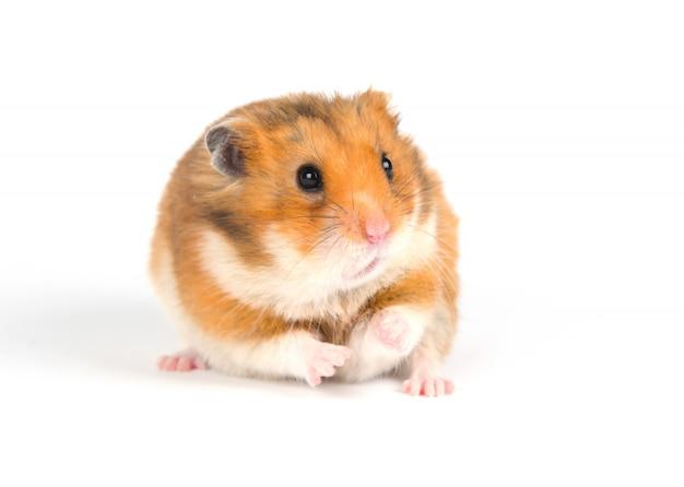Hamster sírio com medo em um fundo branco