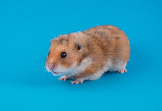 Hamster sírio engraçado bonito (sobre um fundo azul)