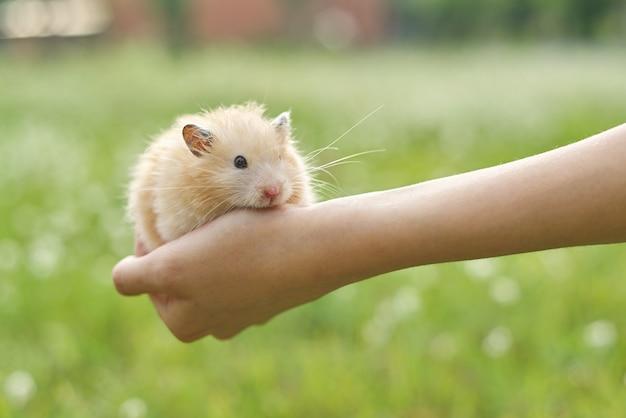 Hamster sírio fofo dourado nas mãos de uma menina, fundo verde gramado, copie o espaço