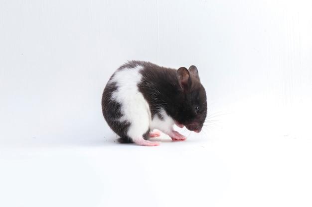 Hamster sírio isolado no branco