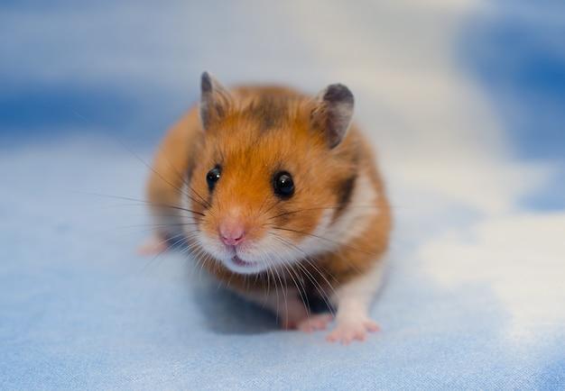 Hamster sírio minúsculo bonito sobre um fundo azul brilhante