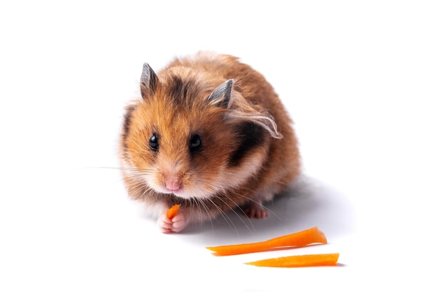 Hamster sírio vermelho em um fundo branco