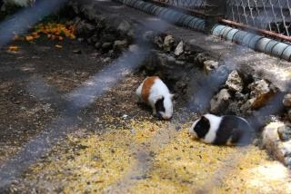Hamsters no zoológico de surabaya