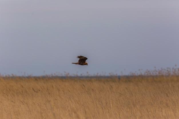Harrier do pântano ocidental (circus aeruginosus) na reserva natural de aiguamolls de l'emporda, espanha.