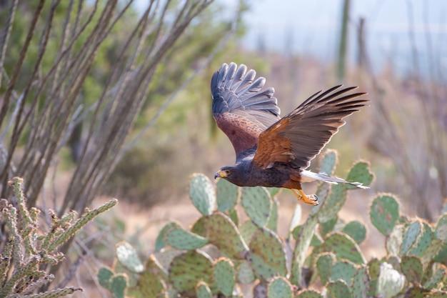 Harris hawk em voo pelo deserto do sudoeste do arizona