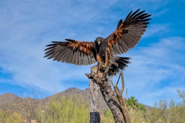 Harriss hawk chegando para pousar no deserto de sonora