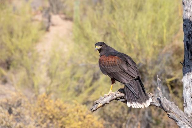 Harriss hawk empoleirado perto das árvores de palo verde