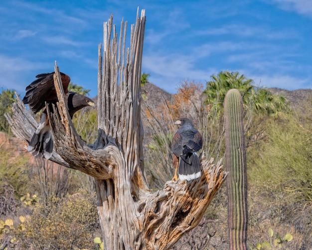 Harriss hawks em um dead saguaro no deserto de sonora