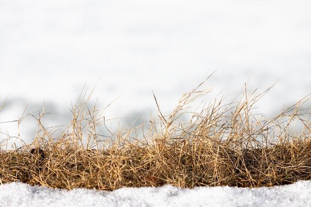 Hastes da grama secada que descongelaram da neve na mola. palha em um fundo manchado branco.