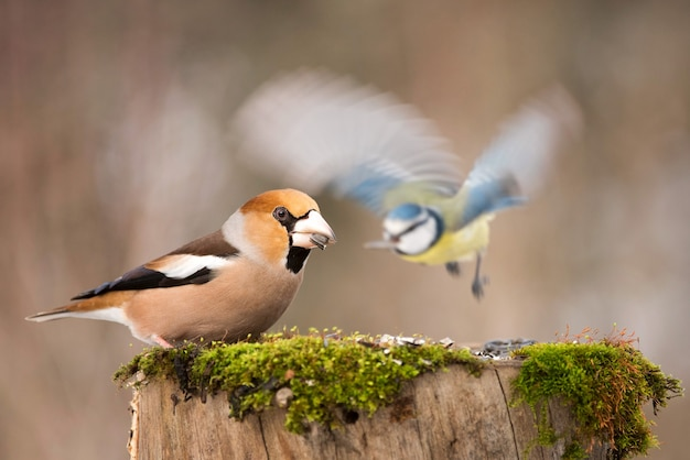 Hawfinch coccothraustes coccothraustes e blue tit cyanistes caeruleus no alimentador no inverno