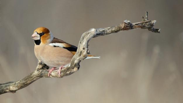 Hawfinch sentado em uma vara