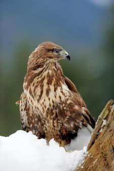 Hawk em um galho na montanha de inverno