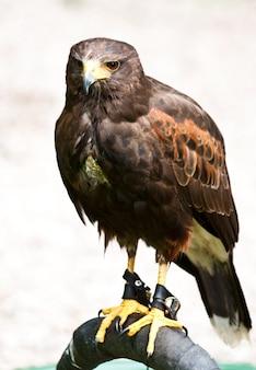 Hawk em uma reserva natural, sutherland, escócia