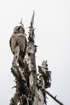 Hawk owl em pé em uma árvore sob um céu nublado no parque nacional de revelstoke. canadá