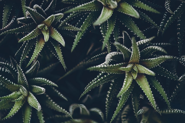 Haworthia fasciata em tons modernos atmosféricos escuros.