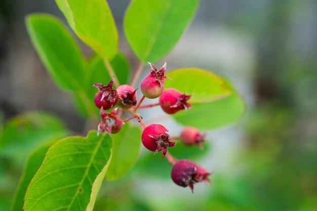 Hawthorn frutas em um galho de árvore no jardim, foco seletivo