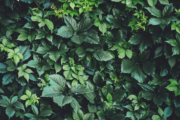 Hedge de grandes folhas verdes na primavera