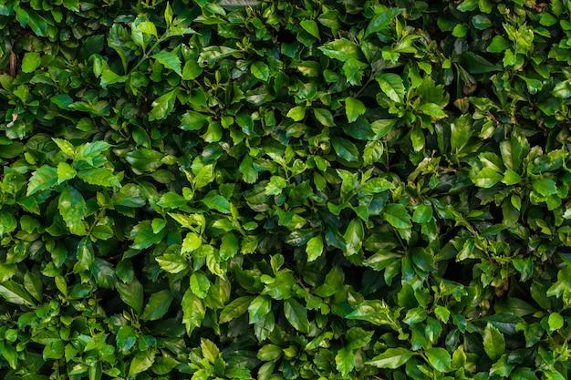 Hedge textura