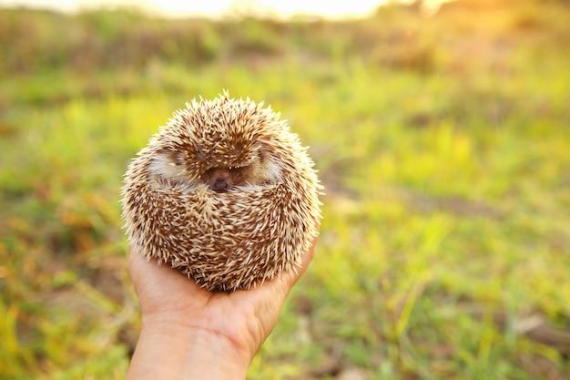 Hedgehog dormir em mãos com fundo de natureza