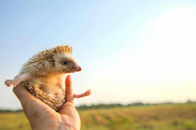 Hedgehog engraçado pode voar nas mãos com fundo de natureza