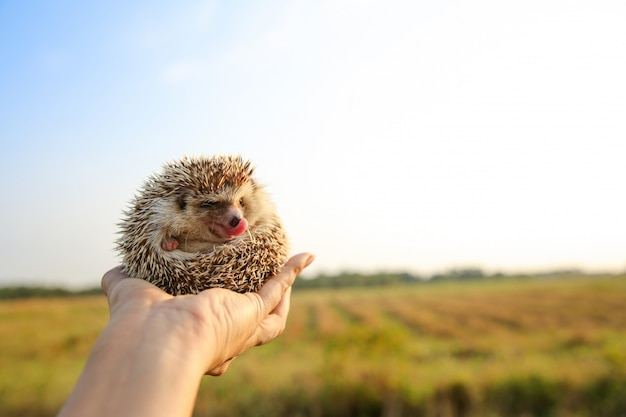 Hedgehog língua engraçada nas mãos com fundo de natureza