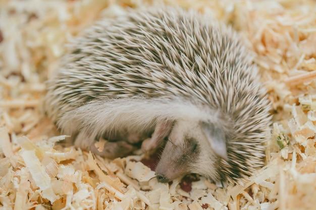 Hedgehog preguiçoso bonito exótico dormindo na cama de madeira sliver