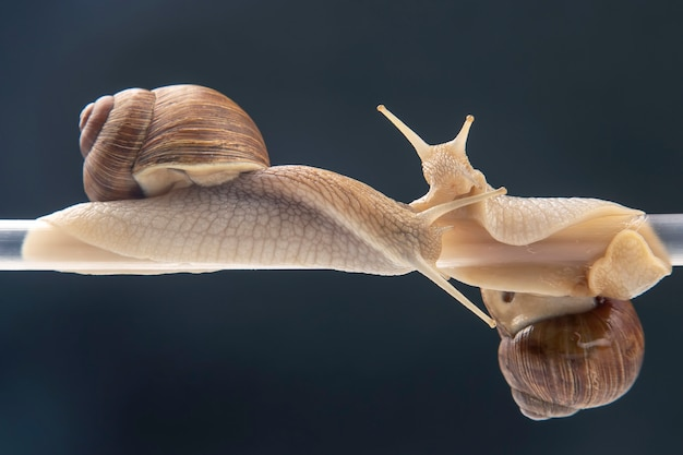 Helix pomatia. caracóis pendurados em um tubo de plástico. romance e relacionamentos no reino animal.