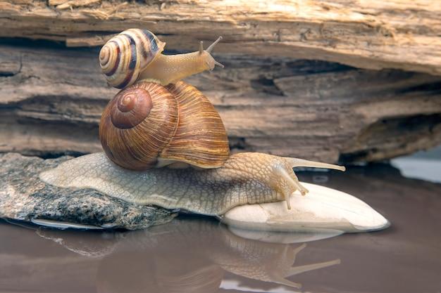Helix pomatia. caracol sobe de pedra em pedra. molusco e invertebrado.