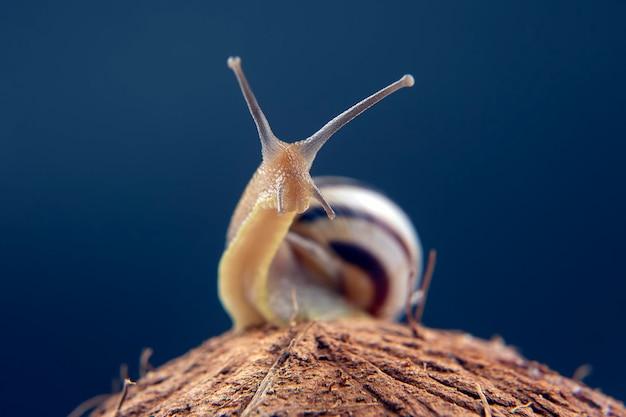 Helix pomatia. caracol uva em um coco em um fundo escuro. molusco e invertebrado. alimento gourmet à base de carne.