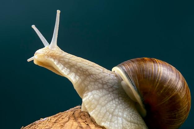 Helix pomatia. caracol uva em um coco. molusco e invertebrado. alimentos gourmet à base de proteína de carne.