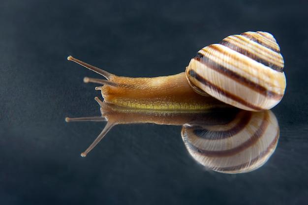 Helix pomatia. caracol uva. molusco e invertebrado.