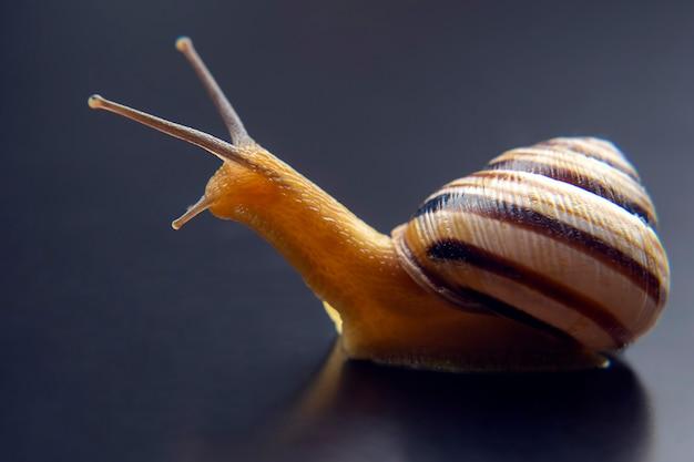 Helix pomatia. caracol uva. molusco e invertebrado