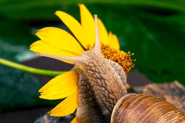 Helix pomatia. o caracol fica pendurado em uma flor amarela e come uma pétala. molusco e invertebrado. delicadeza de carne e comida gourmet.