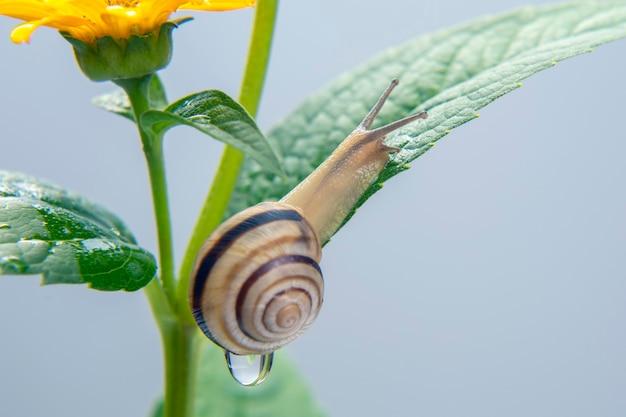 Helix pomatia. pequeno caracol rastejando em uma flor. molusco e invertebrado. delicadeza de carne e comida gourmet.