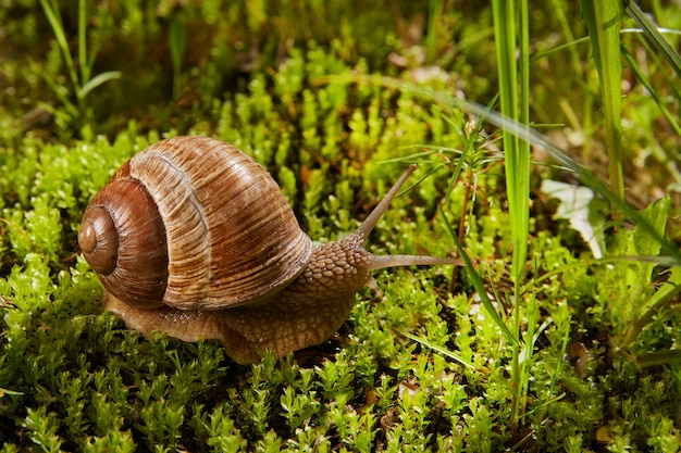 Helix pomatia também é um caracol romano ou de uva, um caracol da borgonha na natureza em musgo verde. caracol comestível da família helicidae.