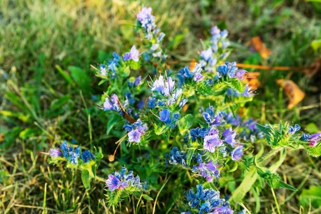 Hematoma de planta medicinal perene comum no campo em um dia quente de verão.
