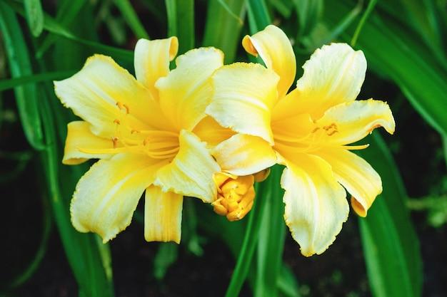 Hemerocallis mary todd, hemerocallis amarelo, variedade premiada (medalha de prata robusta)